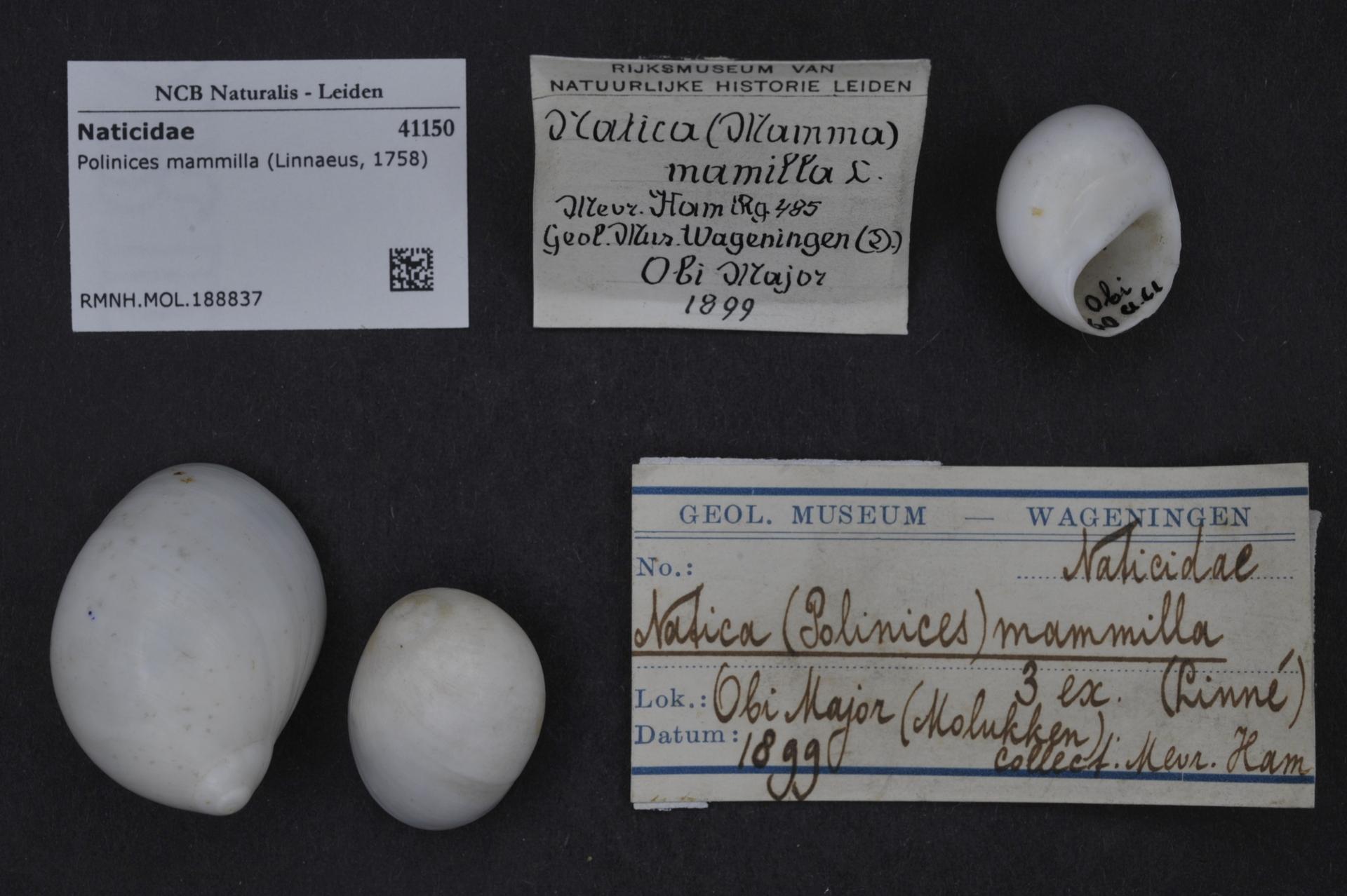 RMNH.MOL.188837 | Polinices mammilla (Linnaeus, 1758)