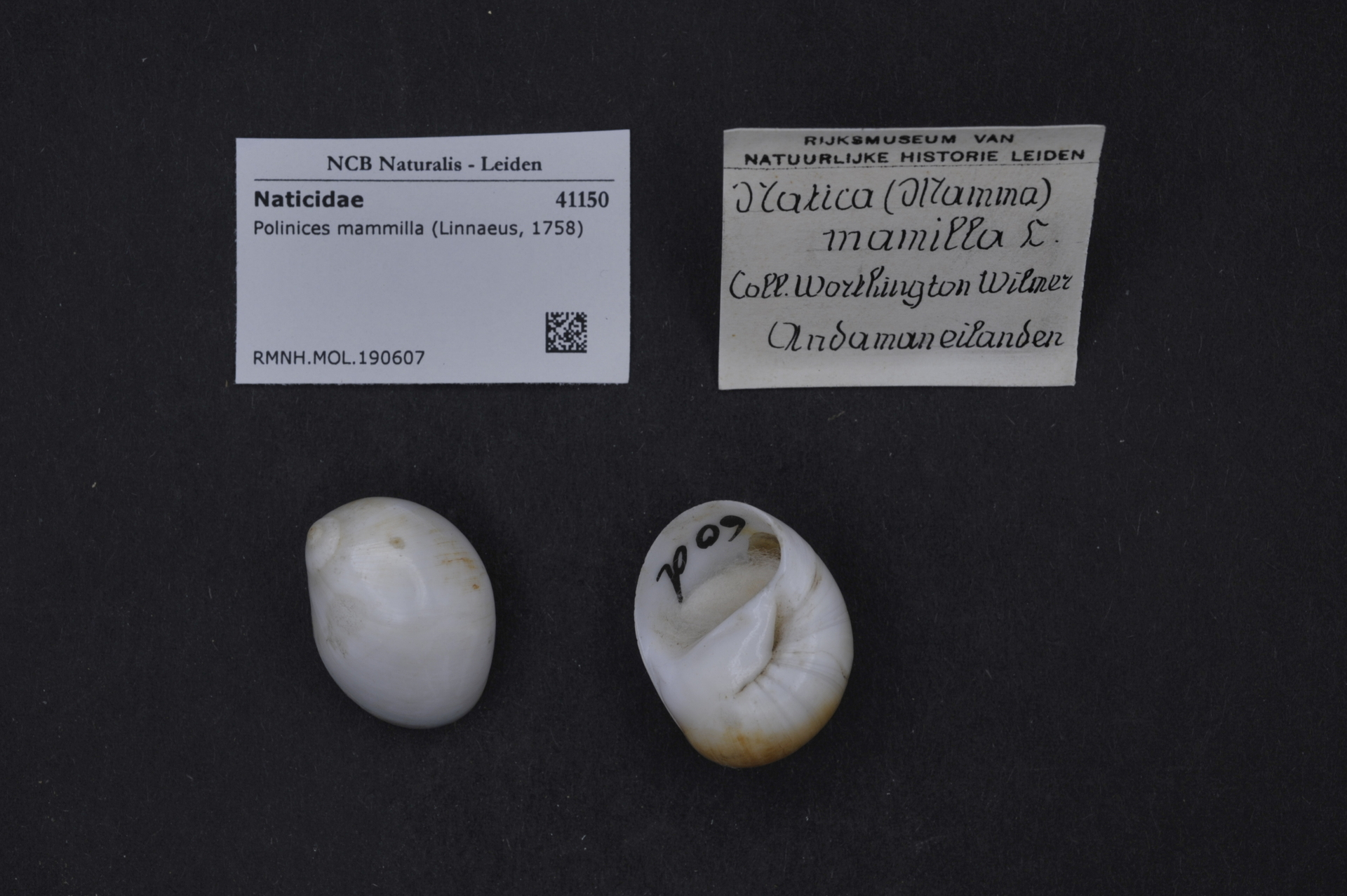 RMNH.MOL.190607 | Polinices mammilla (Linnaeus, 1758)