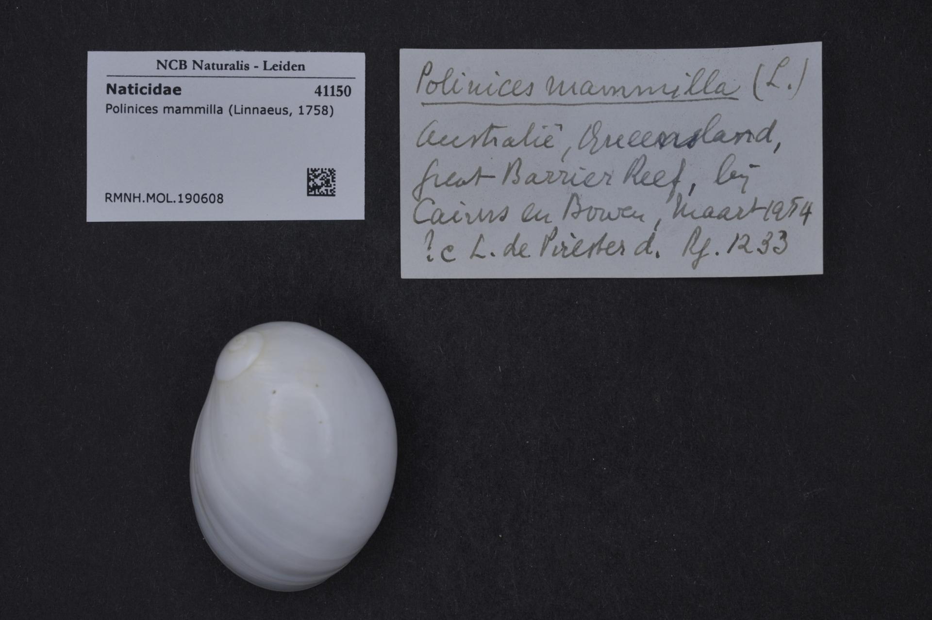 RMNH.MOL.190608 | Polinices mammilla (Linnaeus, 1758)