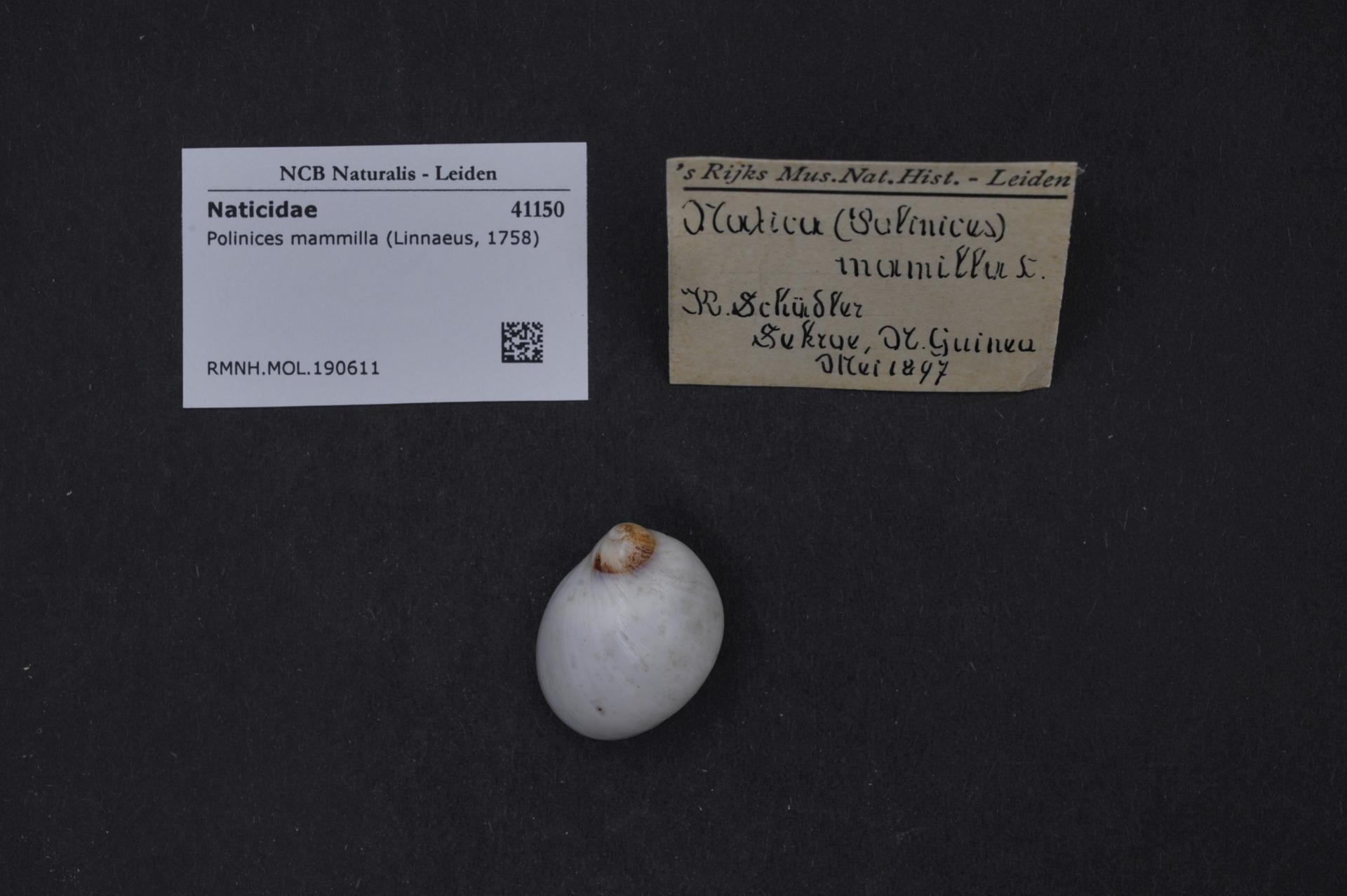 RMNH.MOL.190611 | Polinices mammilla (Linnaeus, 1758)