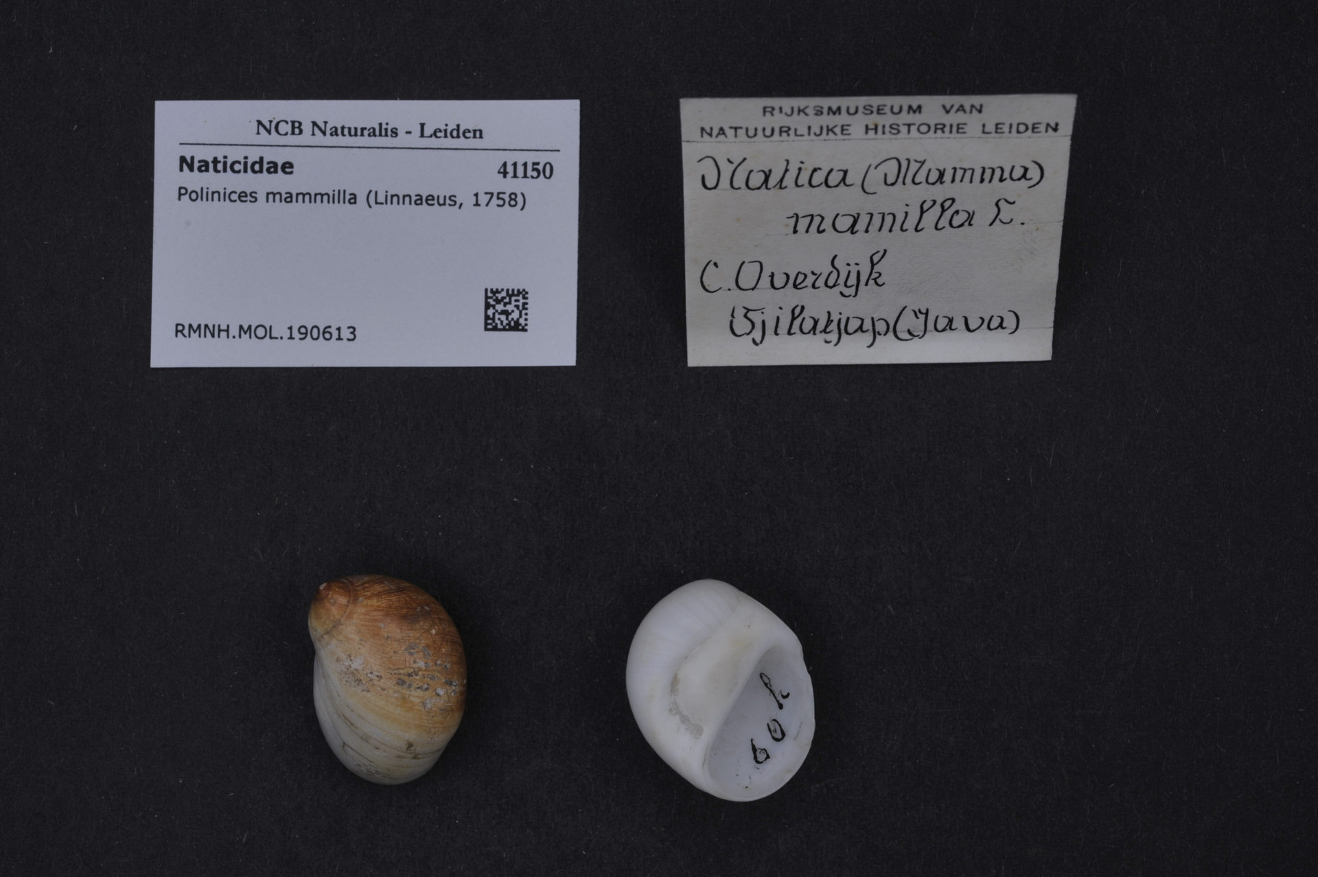 RMNH.MOL.190613 | Polinices mammilla (Linnaeus, 1758)