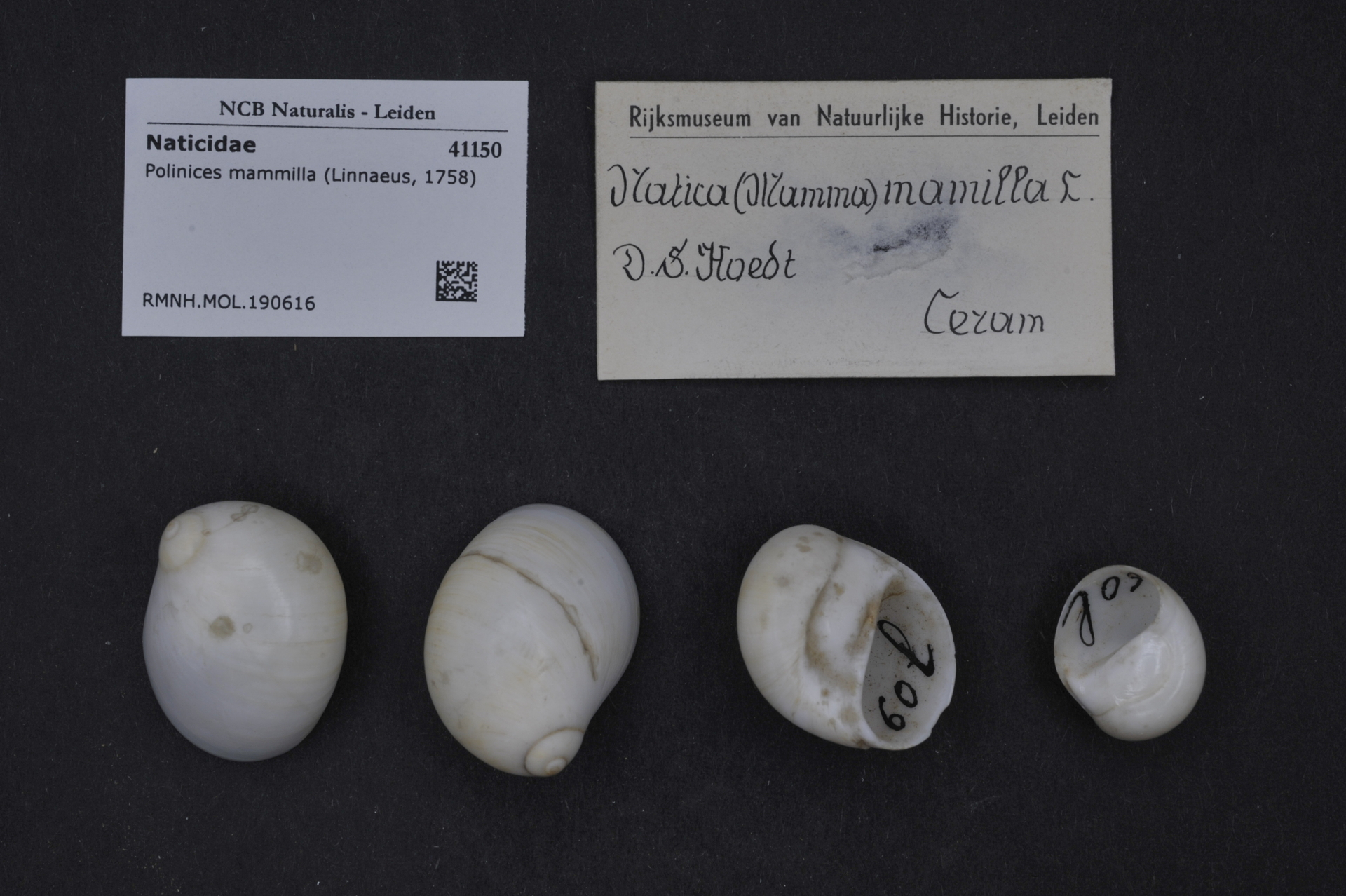 RMNH.MOL.190616 | Polinices mammilla (Linnaeus, 1758)
