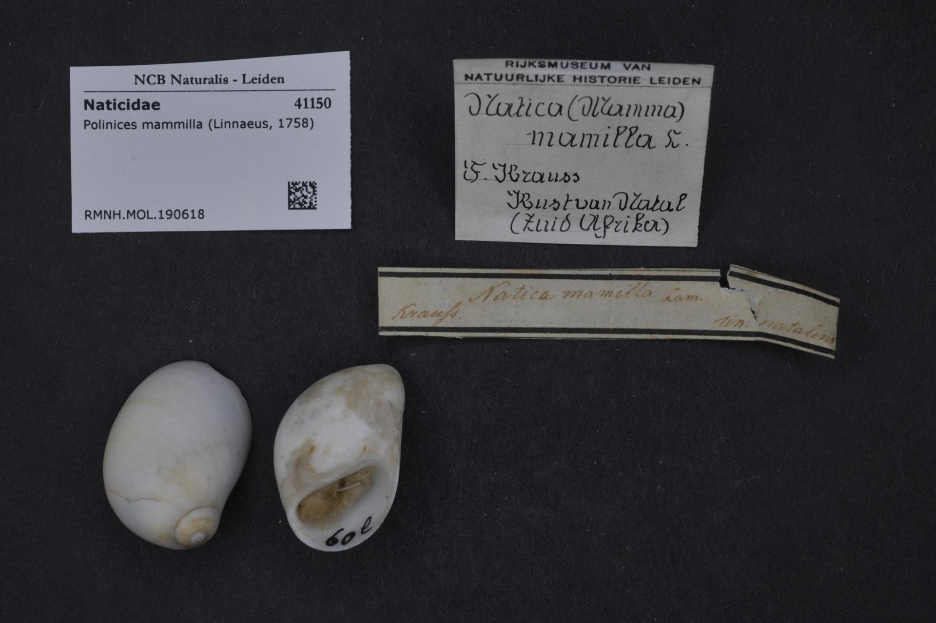 RMNH.MOL.190618 | Polinices mammilla (Linnaeus, 1758)
