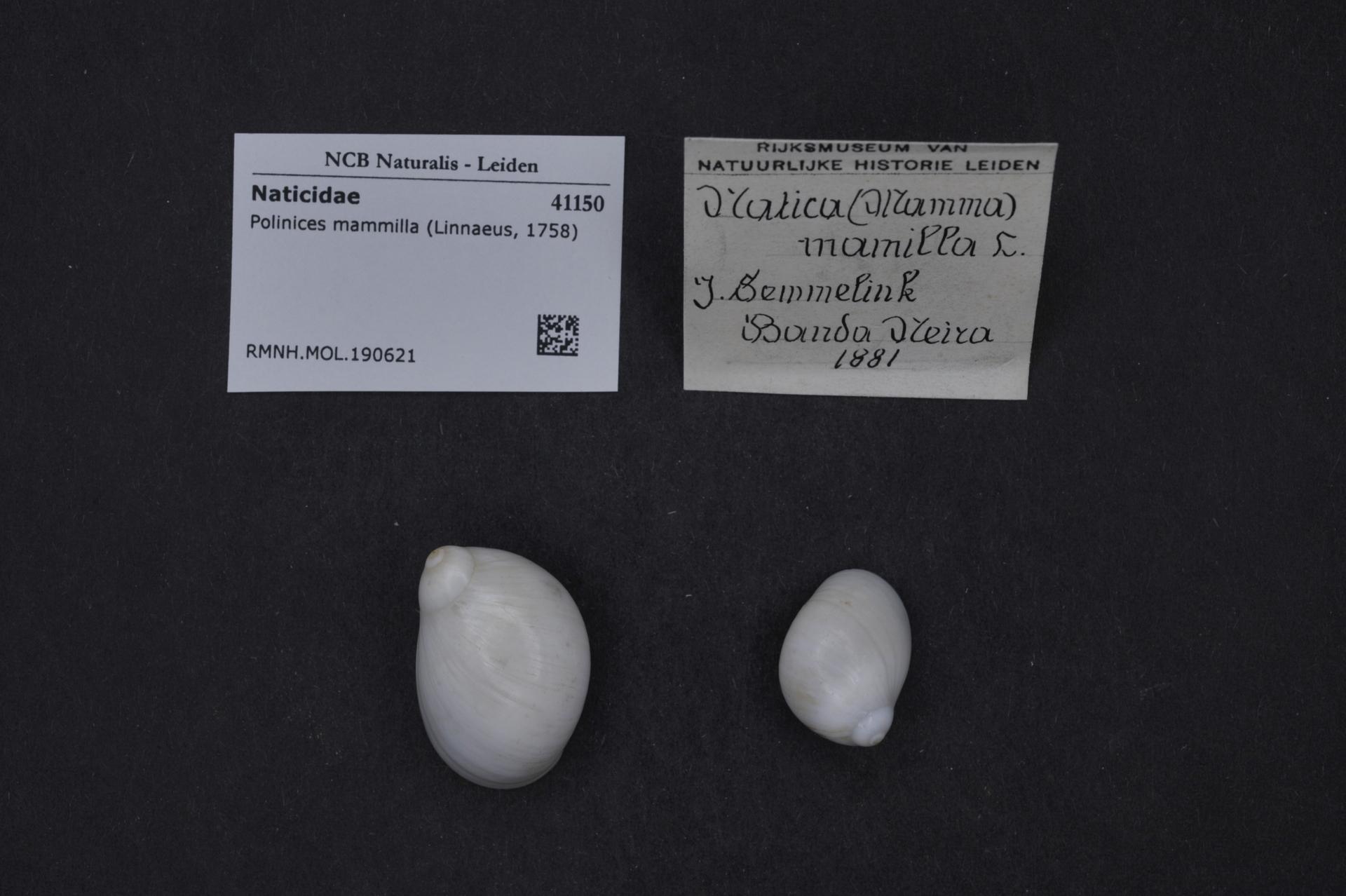 RMNH.MOL.190621 | Polinices mammilla (Linnaeus, 1758)