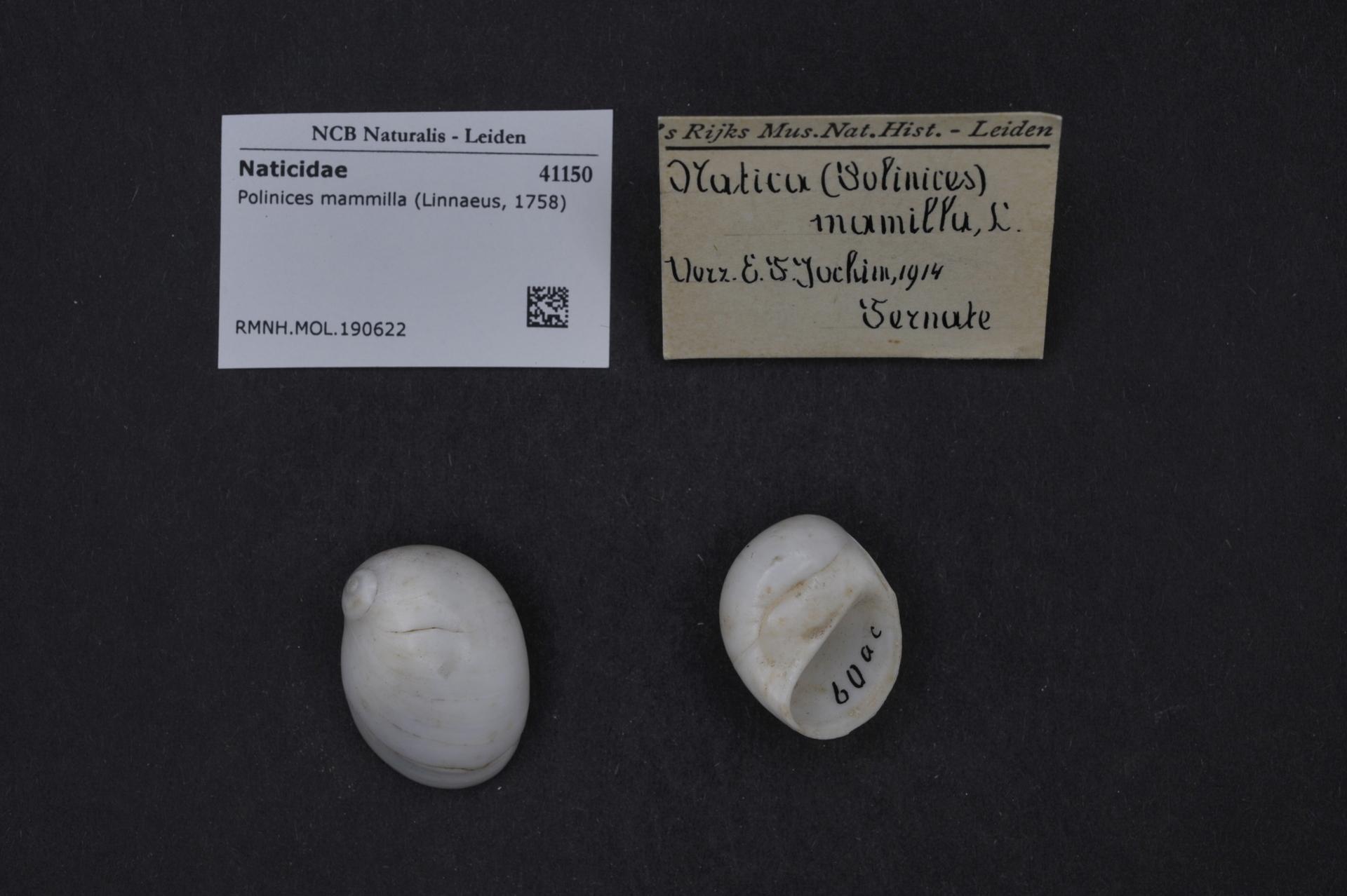 RMNH.MOL.190622 | Polinices mammilla (Linnaeus, 1758)