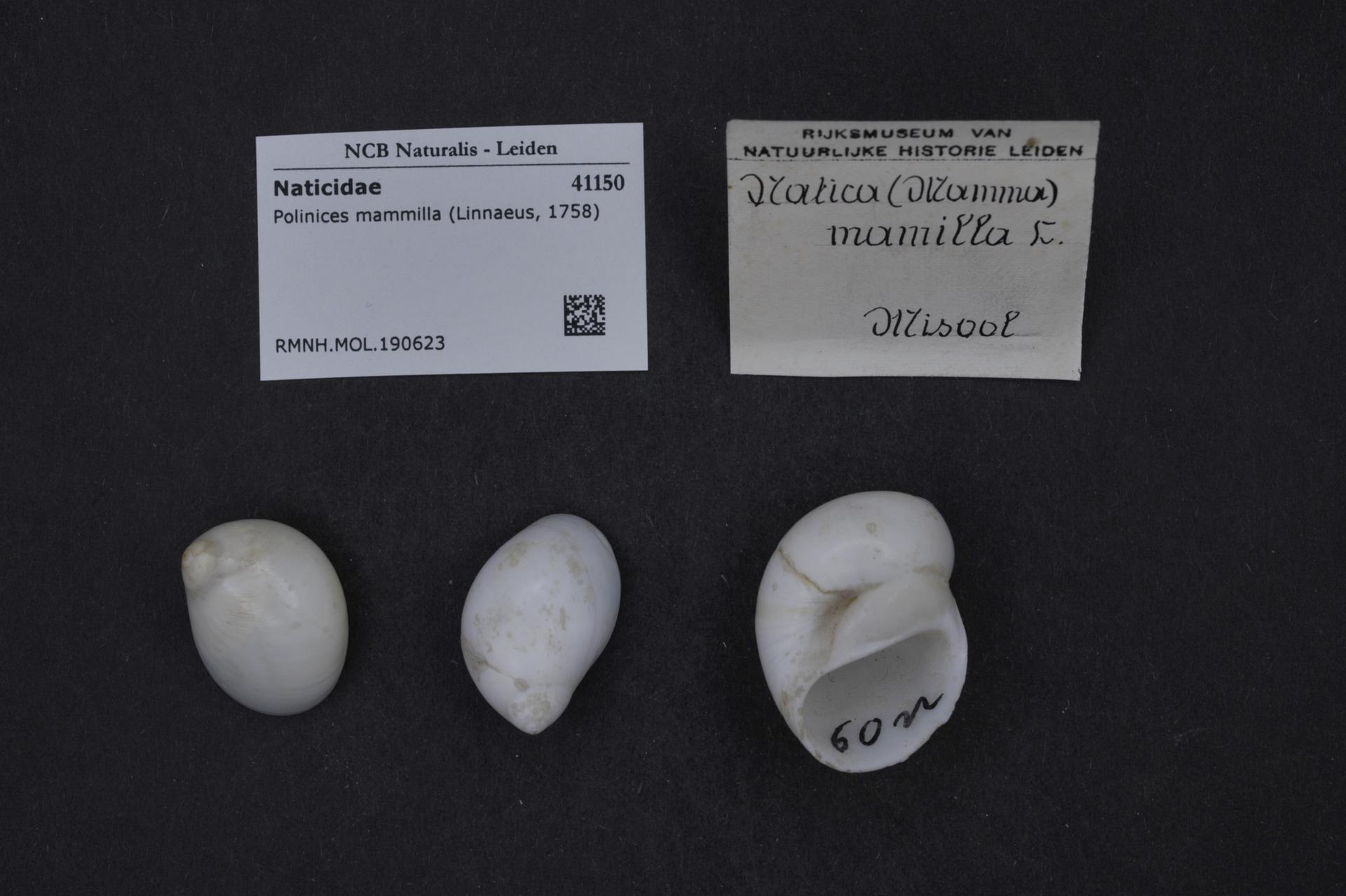 RMNH.MOL.190623 | Polinices mammilla (Linnaeus, 1758)