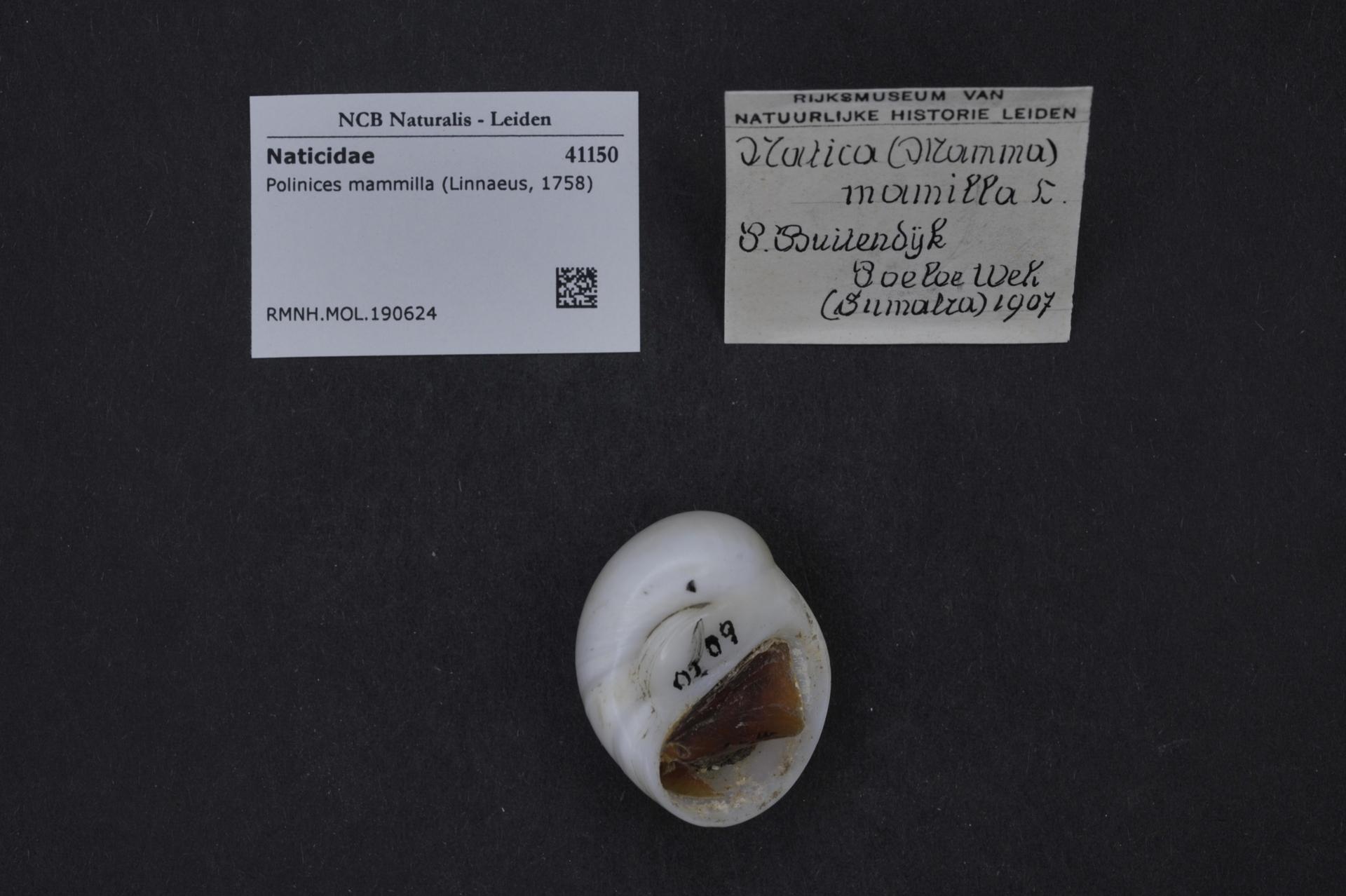 RMNH.MOL.190624 | Polinices mammilla (Linnaeus, 1758)