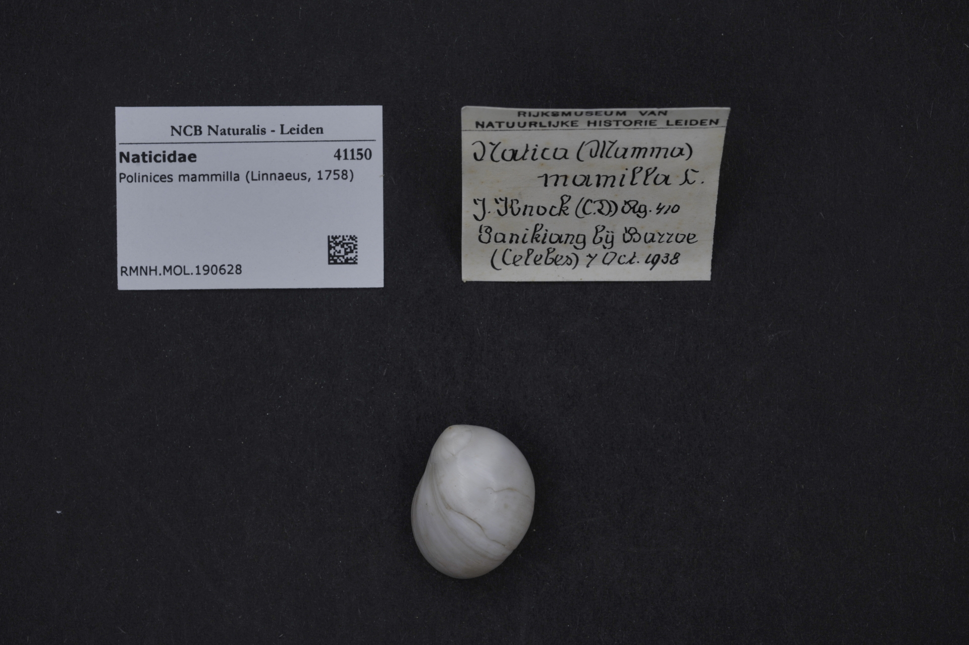 RMNH.MOL.190628 | Polinices mammilla (Linnaeus, 1758)
