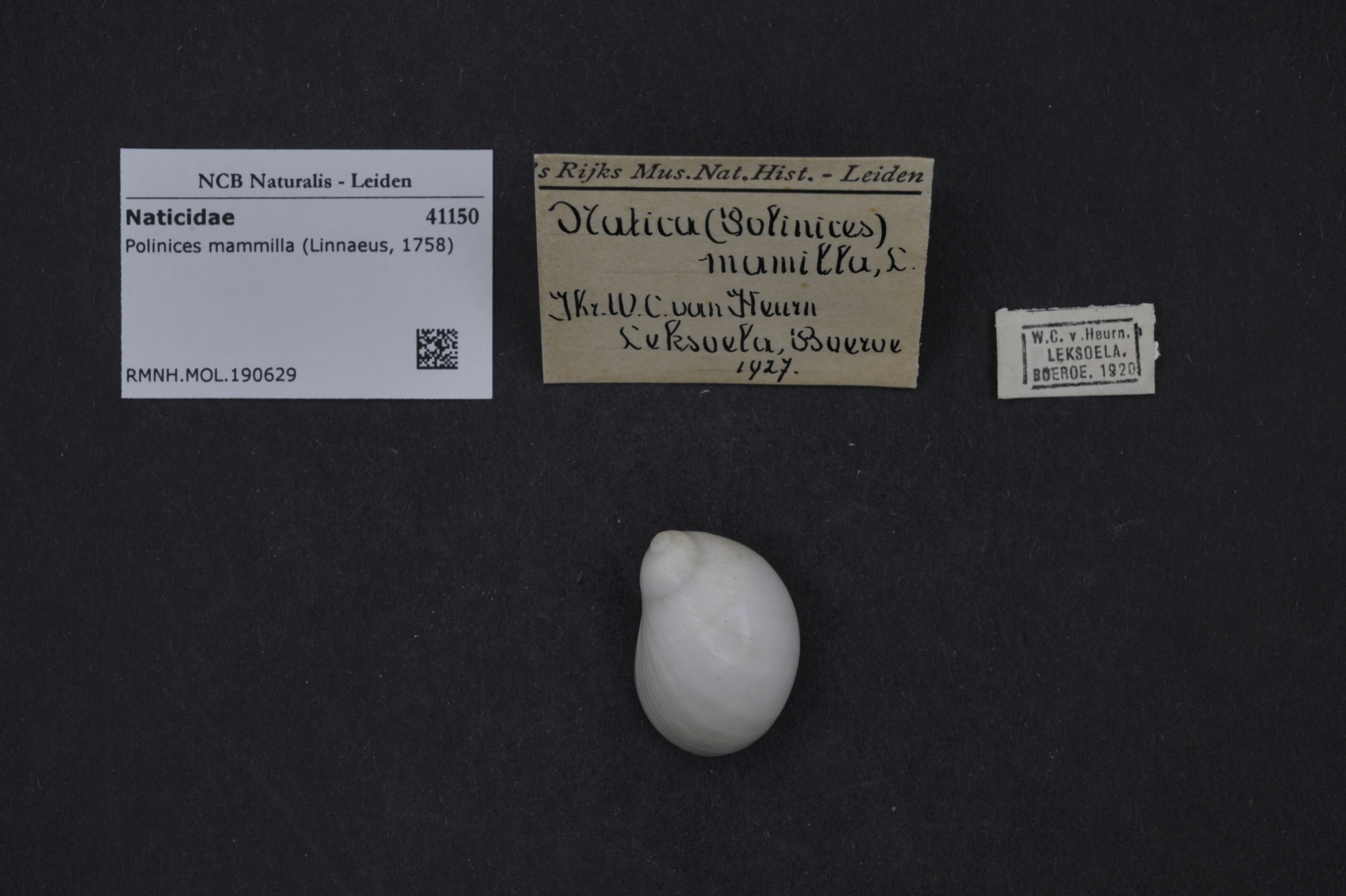 RMNH.MOL.190629 | Polinices mammilla (Linnaeus, 1758)