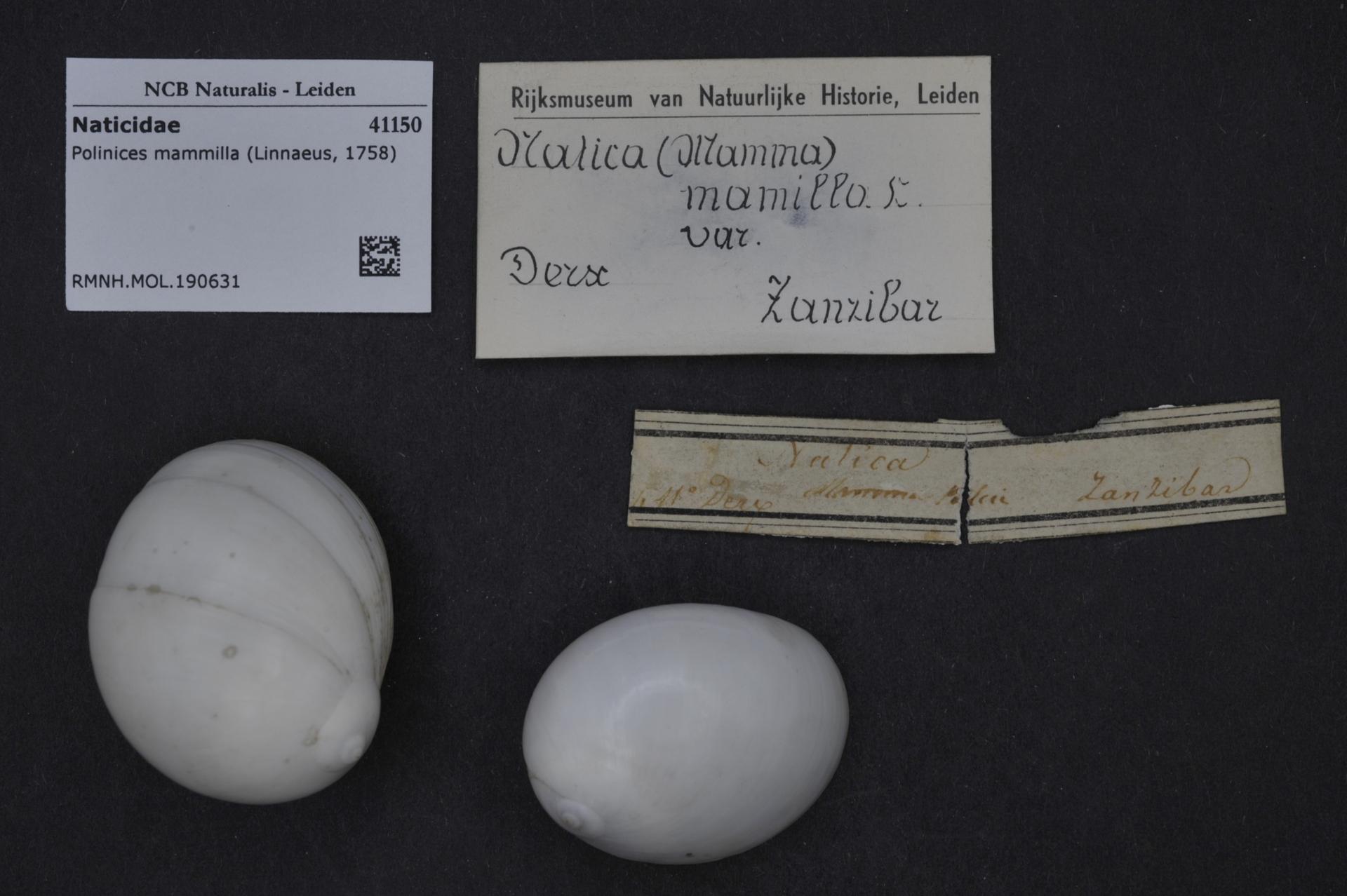 RMNH.MOL.190631 | Polinices mammilla (Linnaeus, 1758)