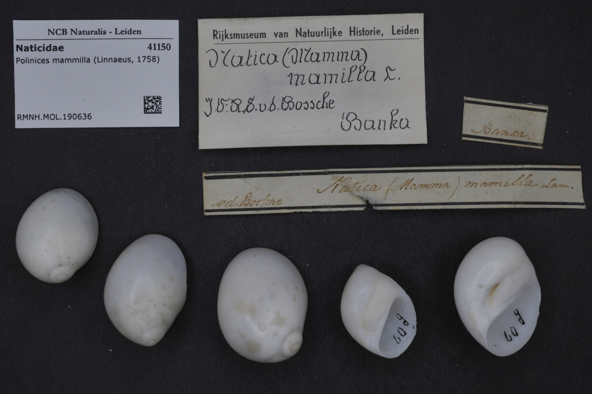 RMNH.MOL.190636 | Polinices mammilla (Linnaeus, 1758)