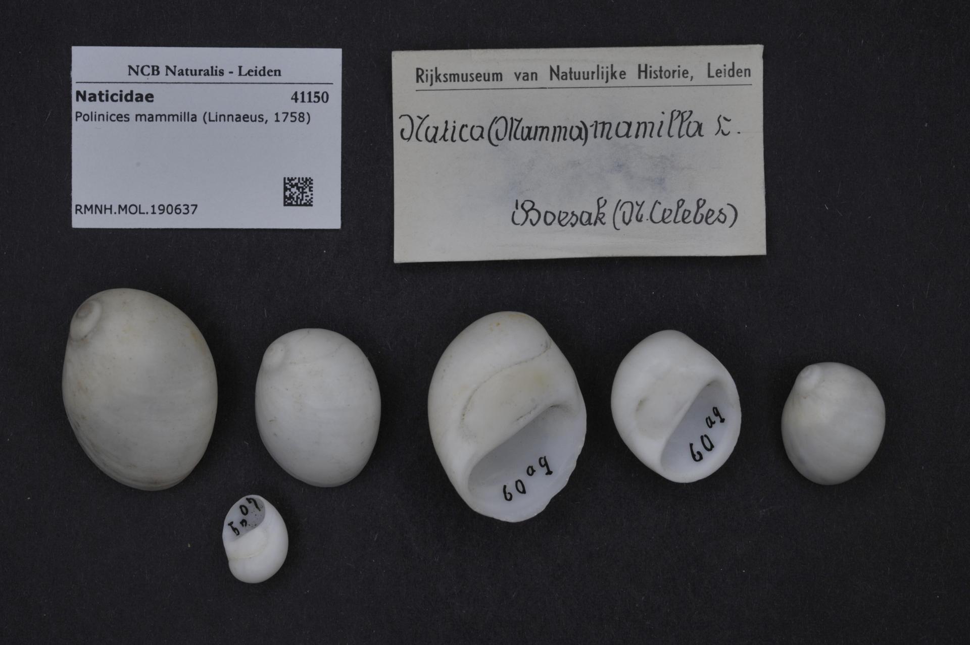 RMNH.MOL.190637 | Polinices mammilla (Linnaeus, 1758)