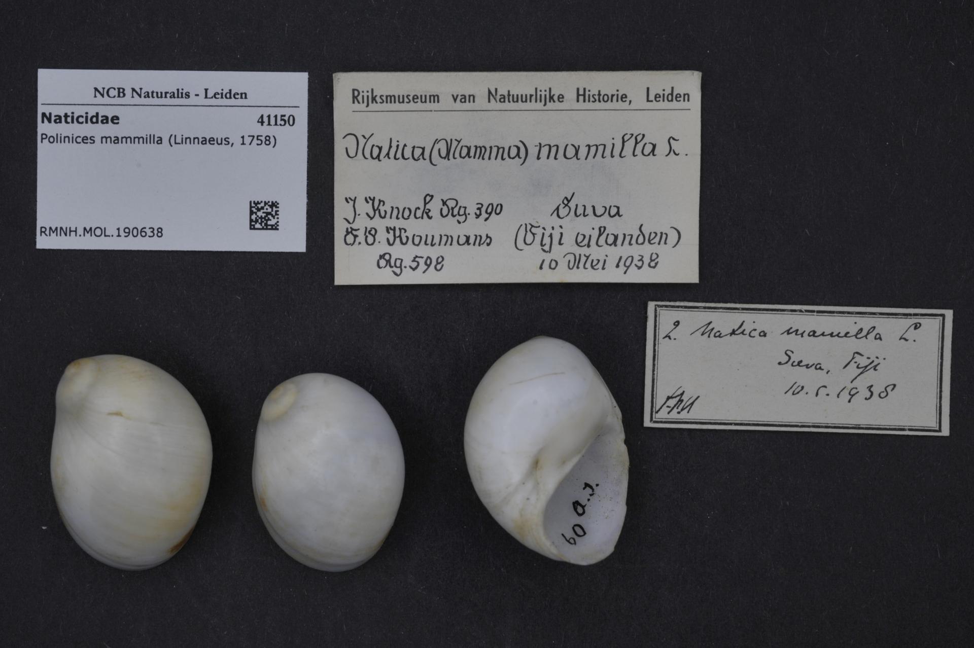 RMNH.MOL.190638 | Polinices mammilla (Linnaeus, 1758)