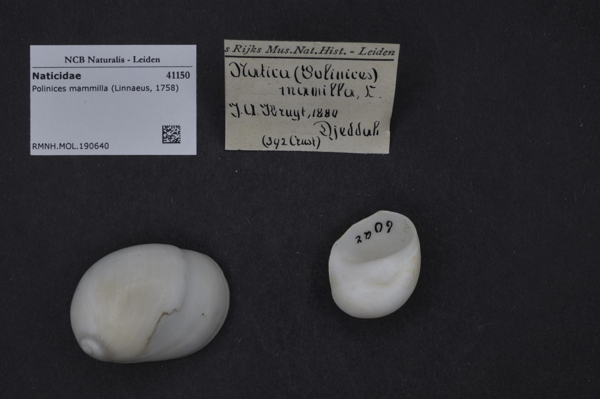 RMNH.MOL.190640 | Polinices mammilla (Linnaeus, 1758)