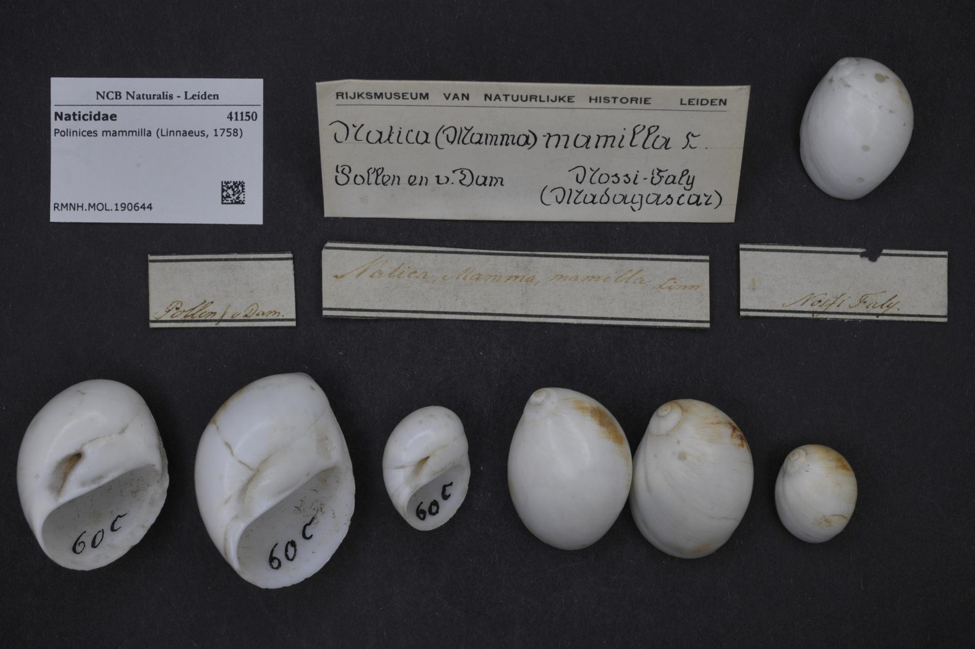 RMNH.MOL.190644 | Polinices mammilla (Linnaeus, 1758)