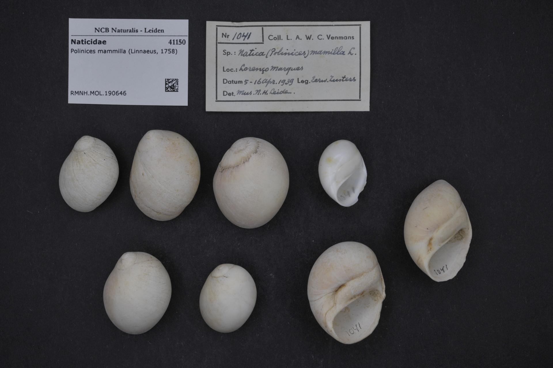 RMNH.MOL.190646 | Polinices mammilla (Linnaeus, 1758)