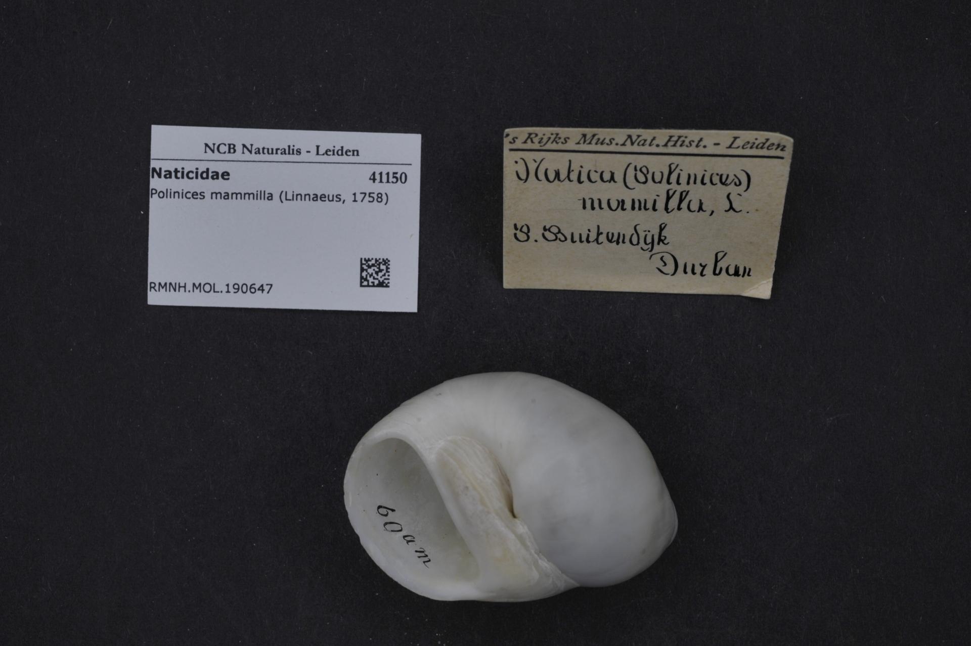RMNH.MOL.190647 | Polinices mammilla (Linnaeus, 1758)