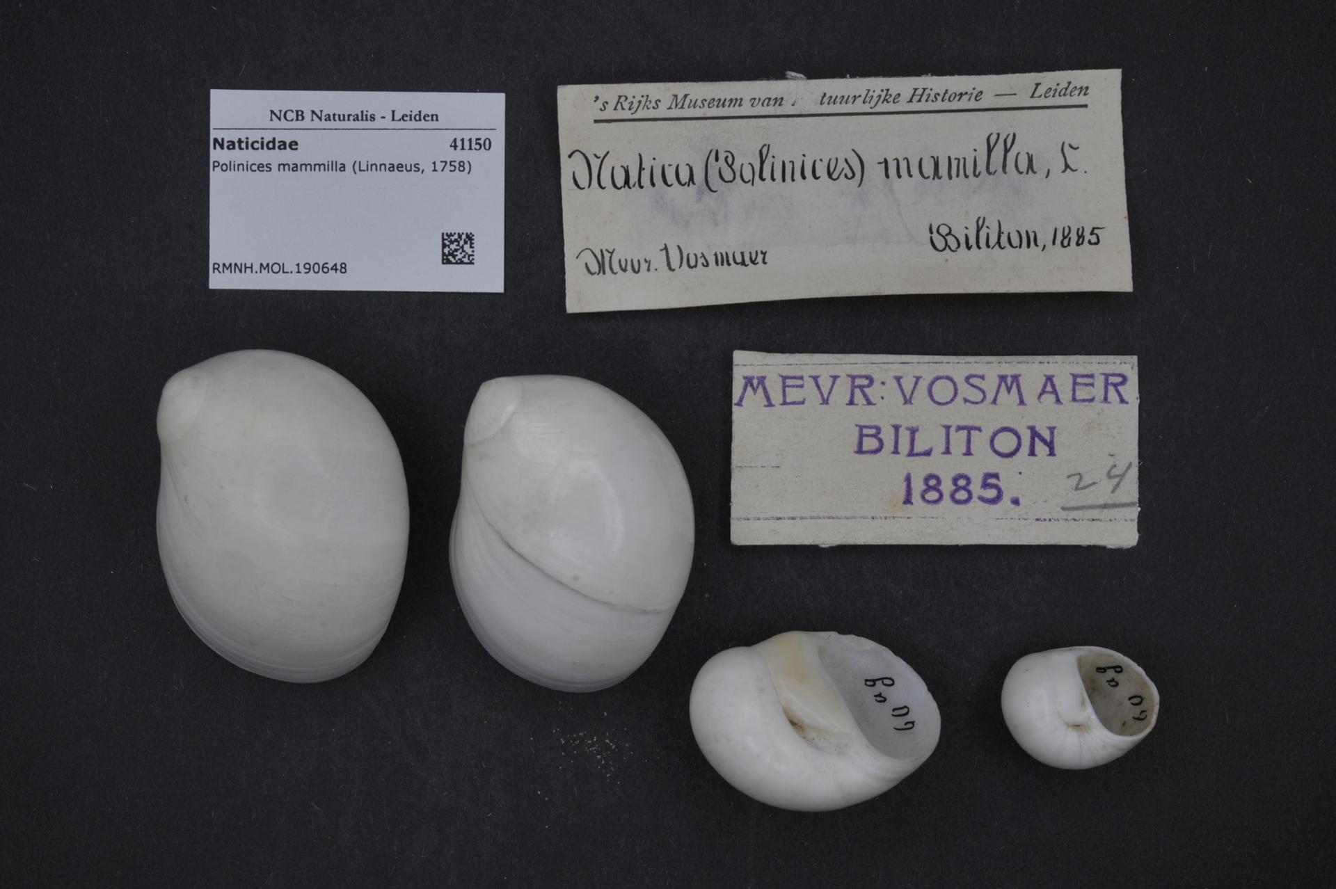 RMNH.MOL.190648 | Polinices mammilla (Linnaeus, 1758)