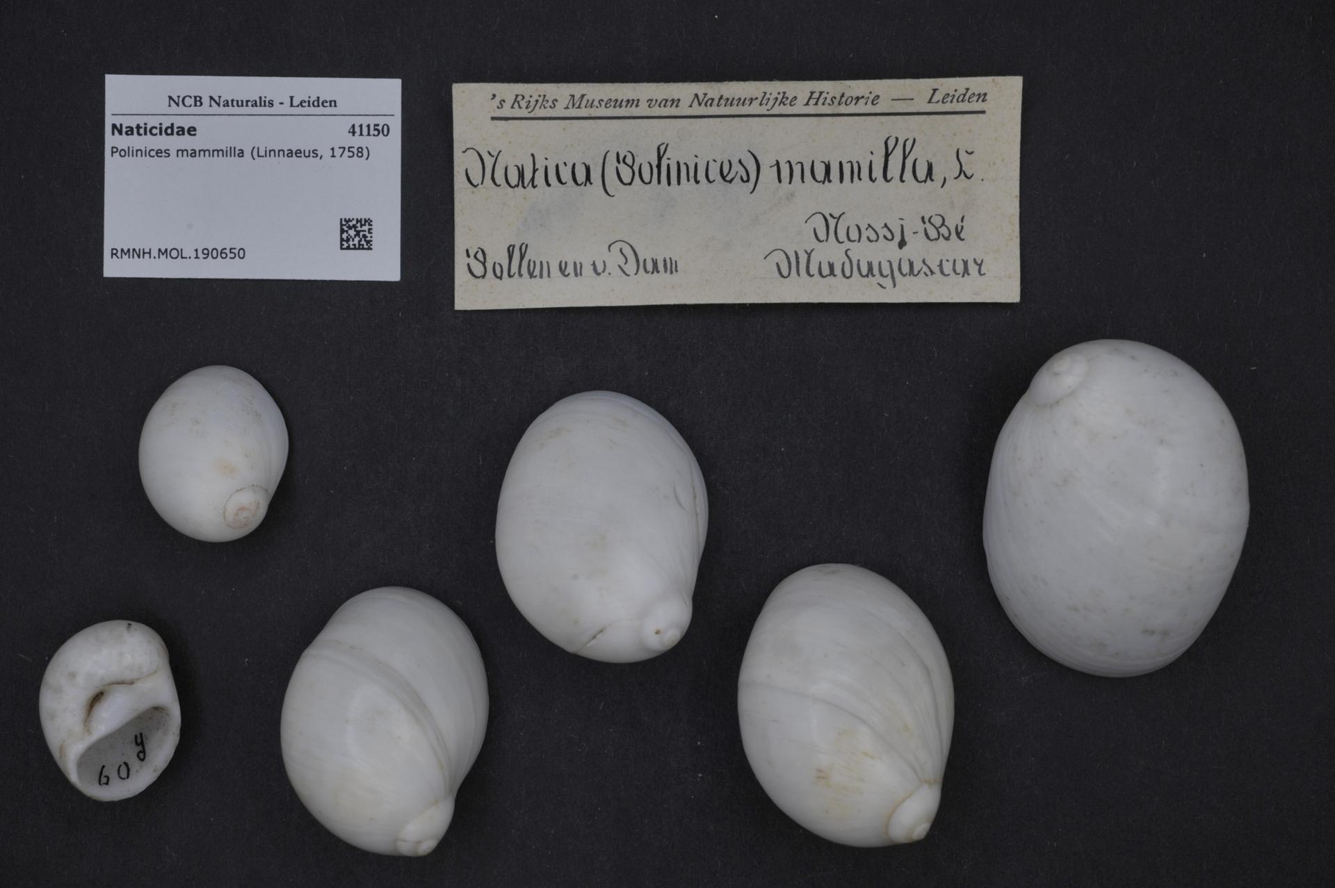 RMNH.MOL.190650 | Polinices mammilla (Linnaeus, 1758)