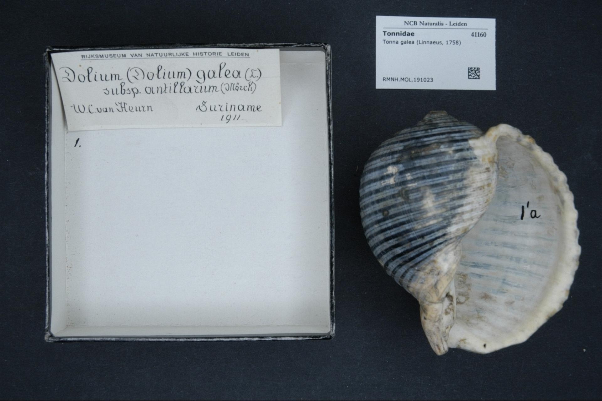 RMNH.MOL.191023 | Tonna galea (Linnaeus, 1758)