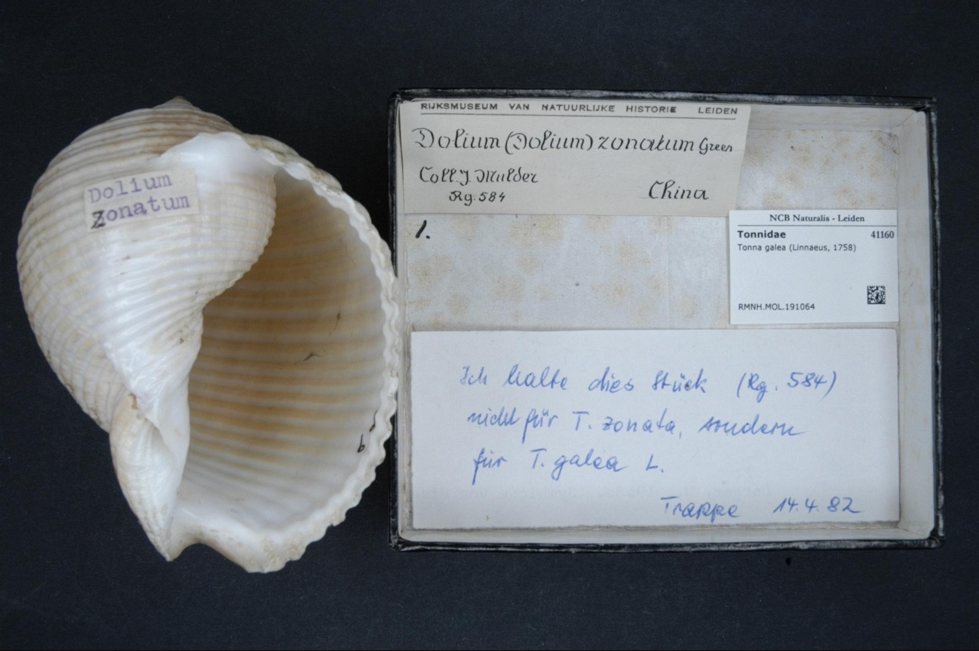 RMNH.MOL.191064 | Tonna galea (Linnaeus, 1758)