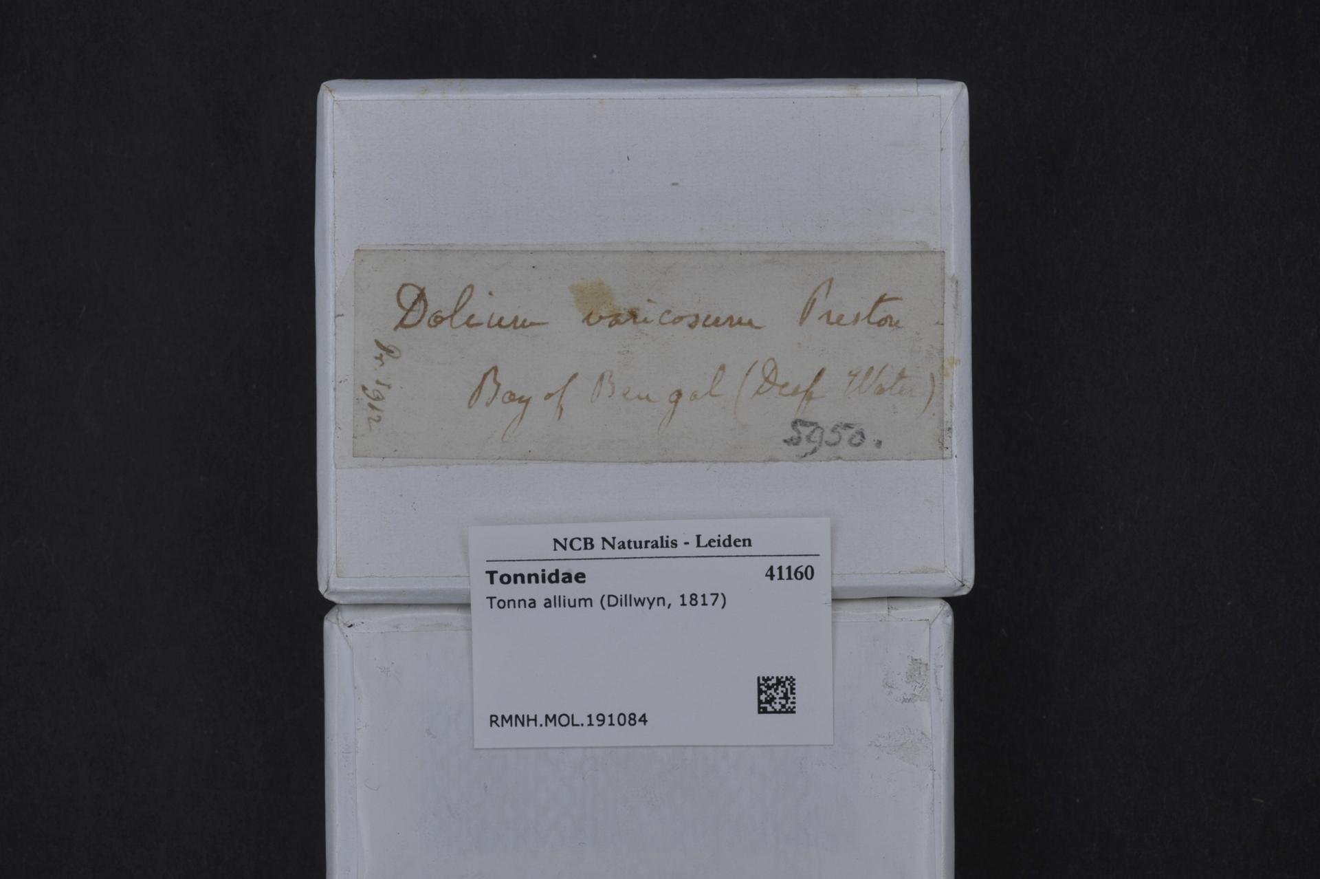 RMNH.MOL.191084 | Tonna allium (Dillwyn, 1817)