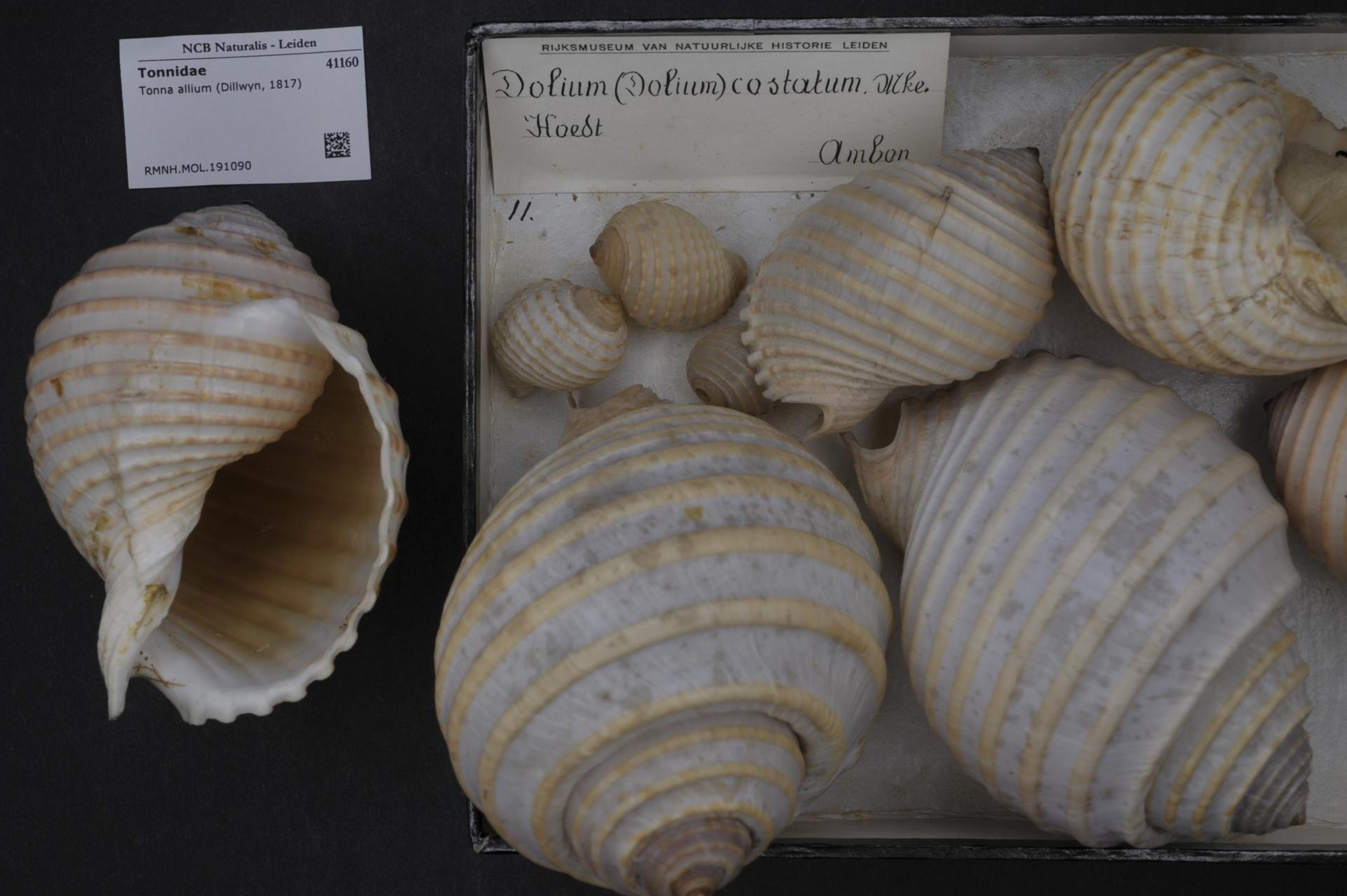 RMNH.MOL.191090   Tonna allium (Dillwyn, 1817)