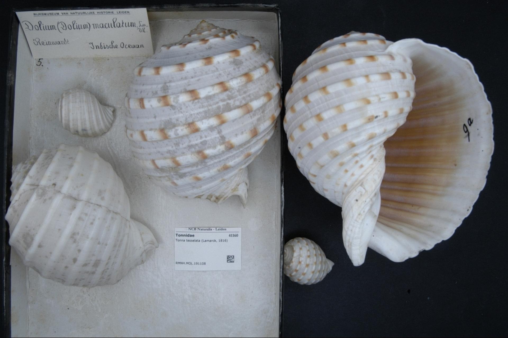 RMNH.MOL.191108   Tonna tessellata (Lamarck, 1816)