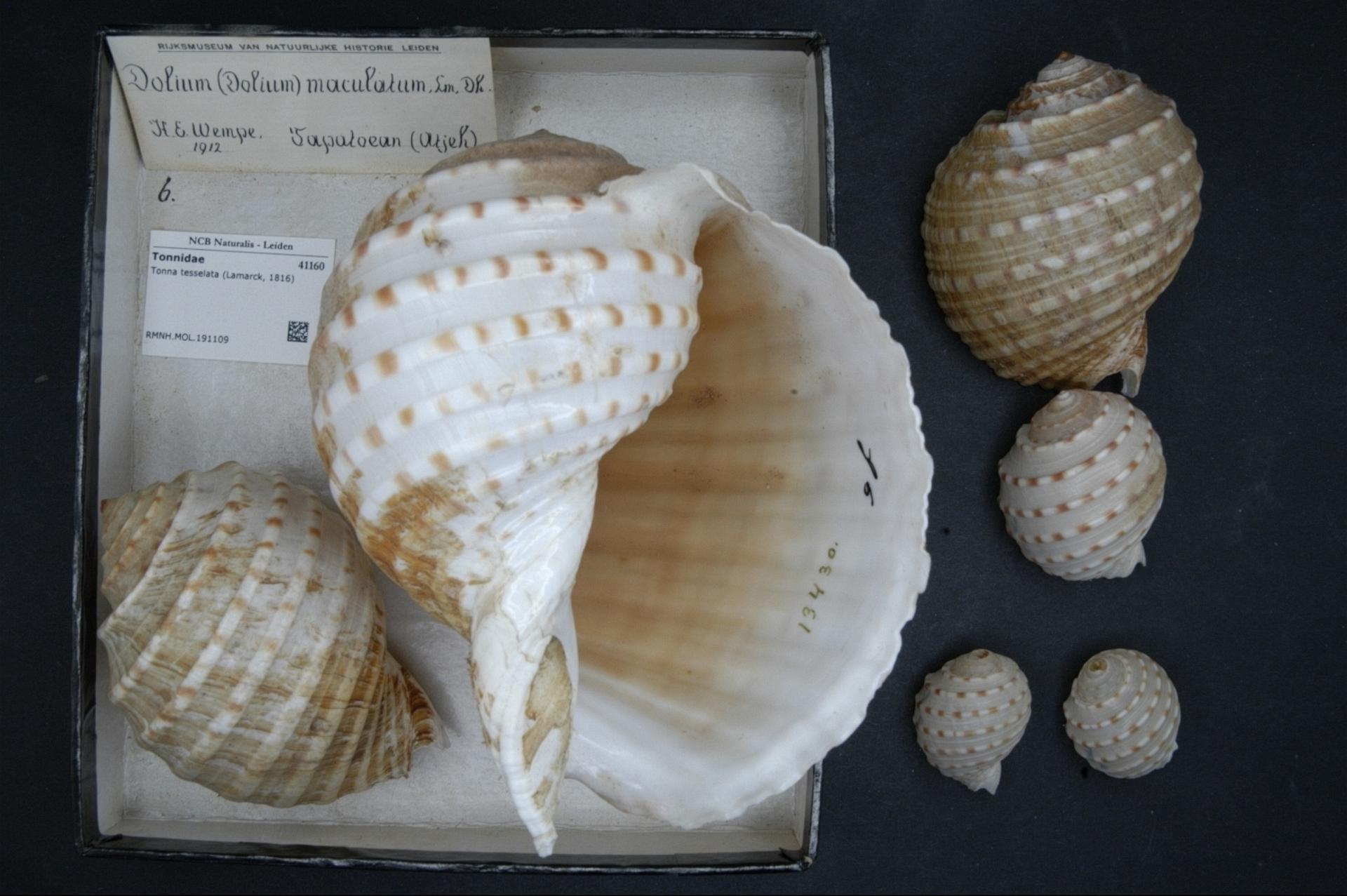 RMNH.MOL.191109   Tonna tessellata (Lamarck, 1816)