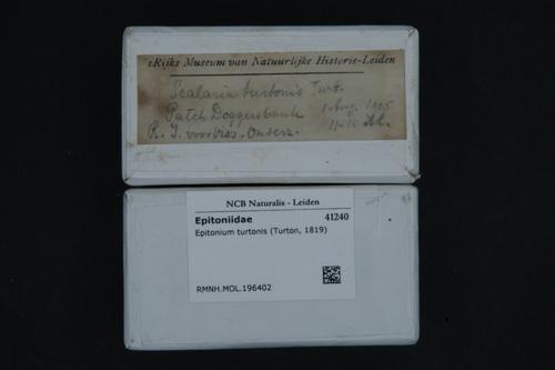 Epitonium turtonis image