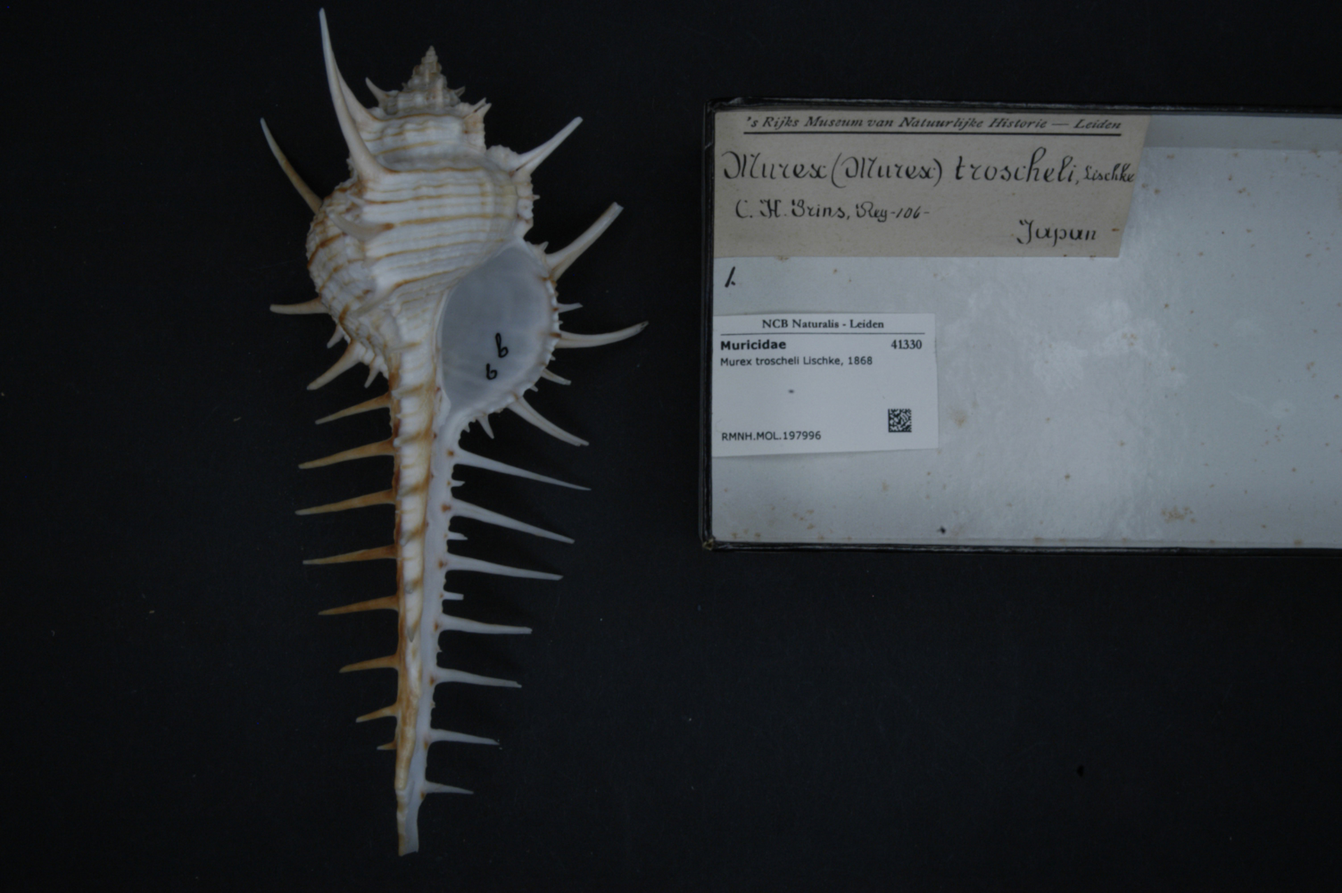 RMNH.MOL.197996 | Murex troscheli Lischke, 1868