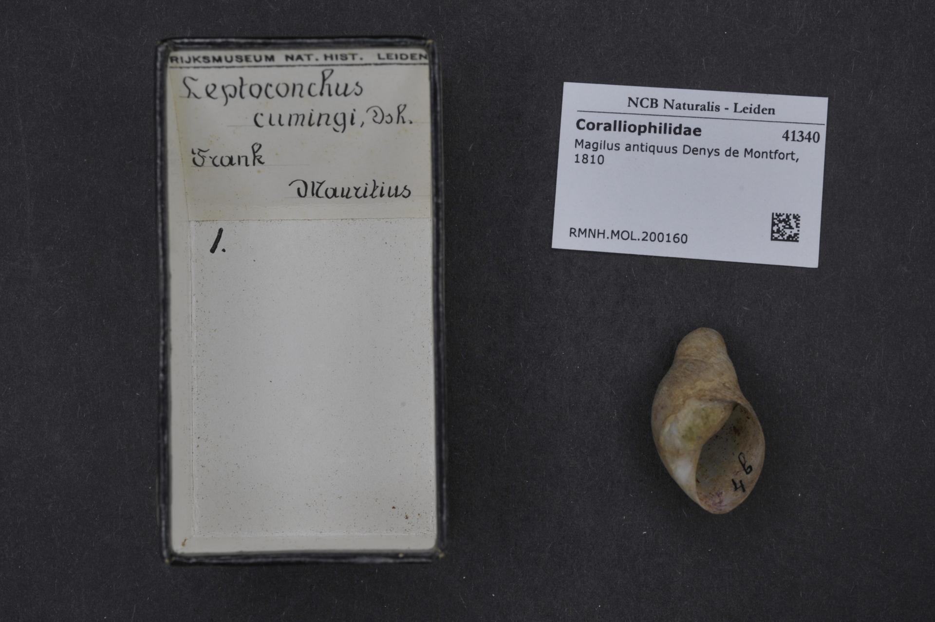 RMNH.MOL.200160 | Magilus antiquus Denys de Montfort, 1810