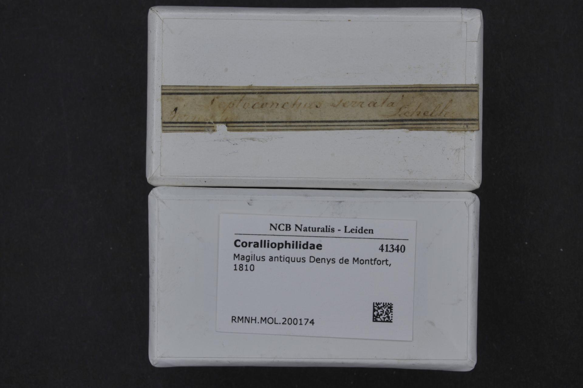 RMNH.MOL.200174 | Magilus antiquus Denys de Montfort, 1810