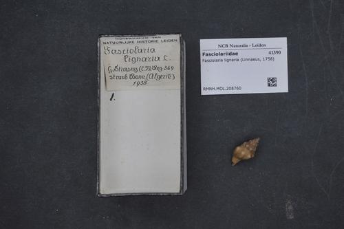 Tarantinaea lignaria image