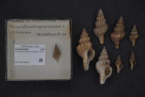 Aptyxis syracusana image