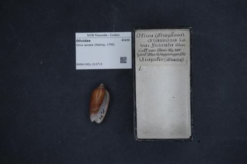 Oliva spicata image