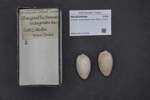 Prunum marginatum image