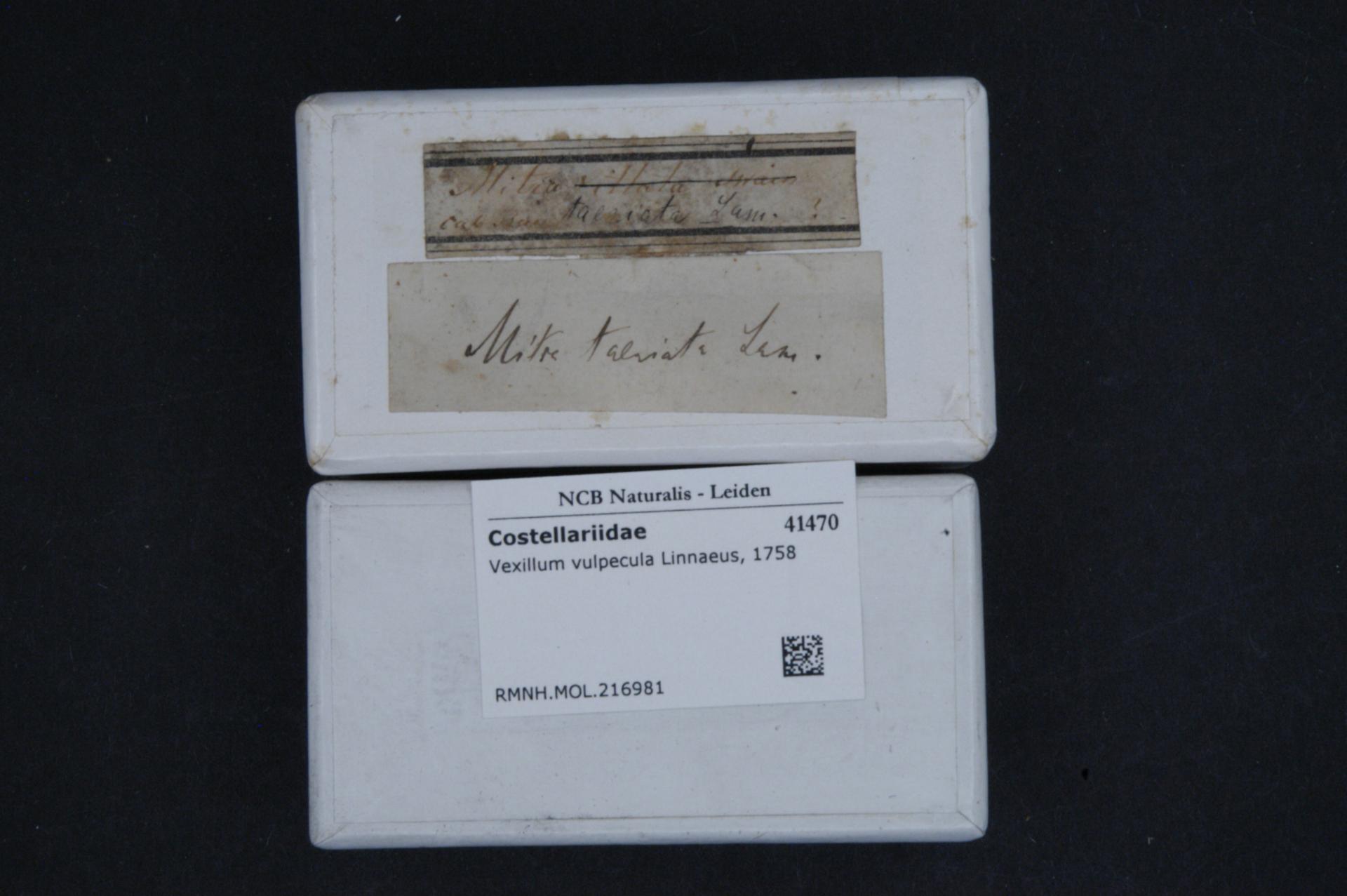 RMNH.MOL.216981 | Vexillum vulpecula (Linnaeus, 1758)