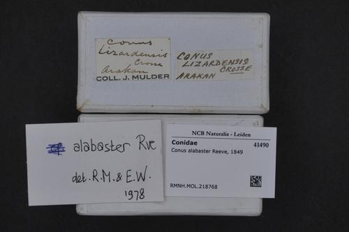 Conus alabaster image