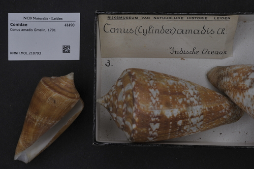 Conus amadis image