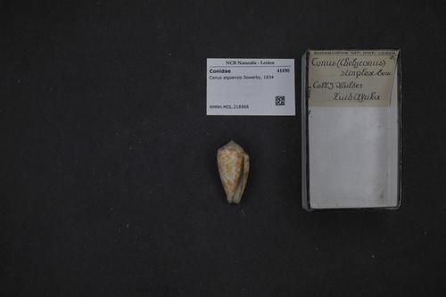 Conus algoensis image
