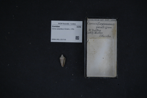 Conus jaspideus image