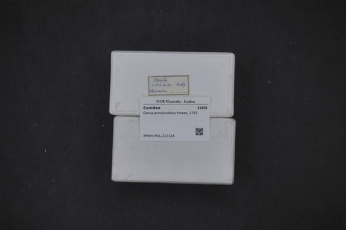 Conasprella puncticulata image