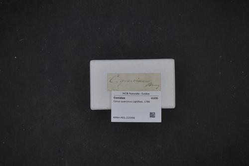 Conus quercinus image