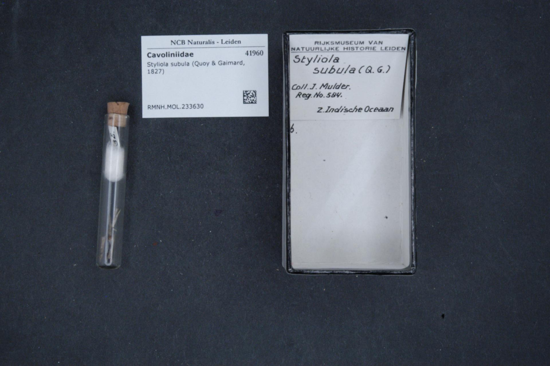 RMNH.MOL.233630 | Styliola subula (Quoy & Gaimard, 1827)