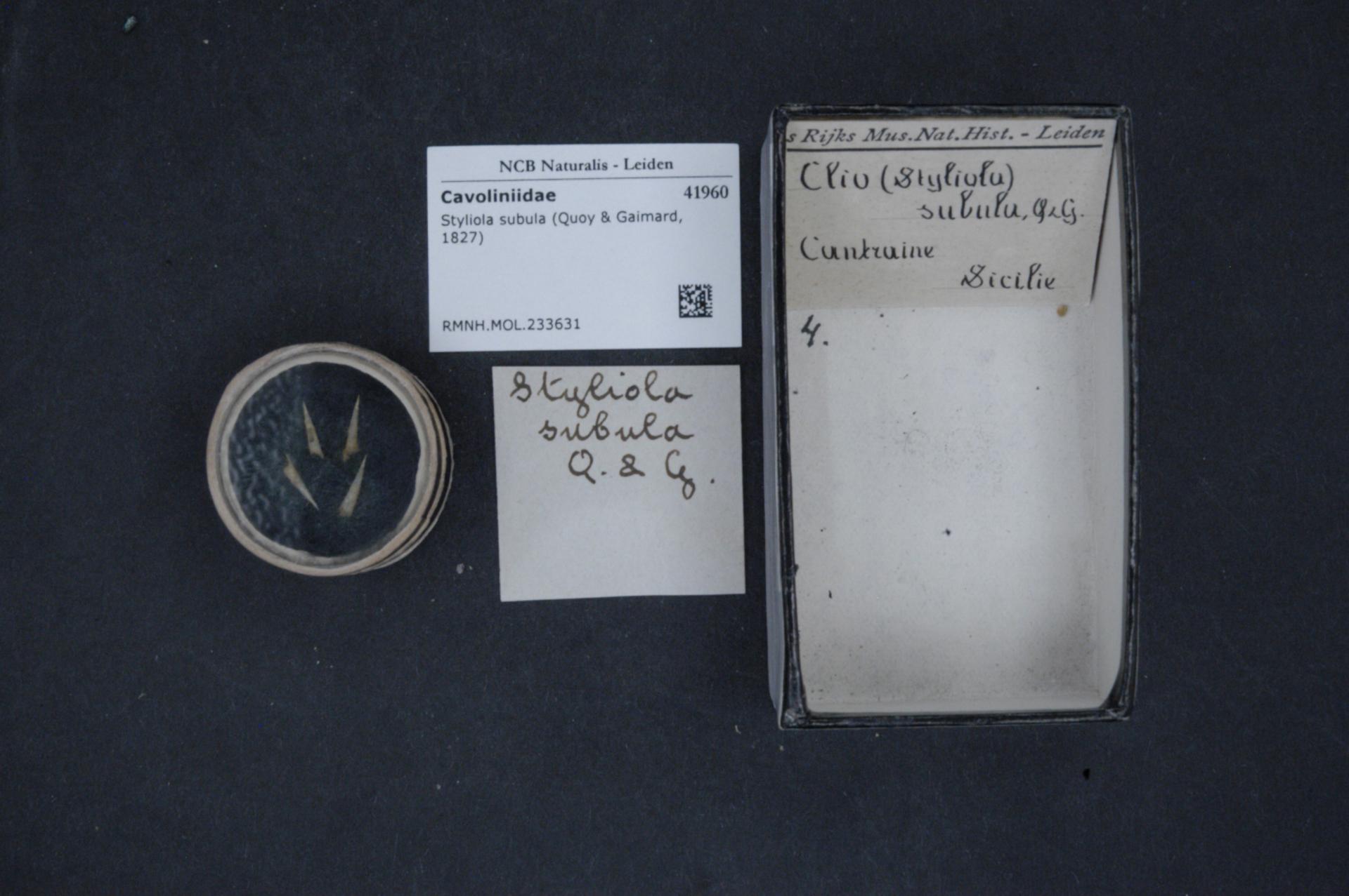 RMNH.MOL.233631 | Styliola subula (Quoy & Gaimard, 1827)