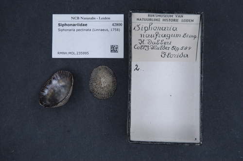 Siphonaria pectinata image