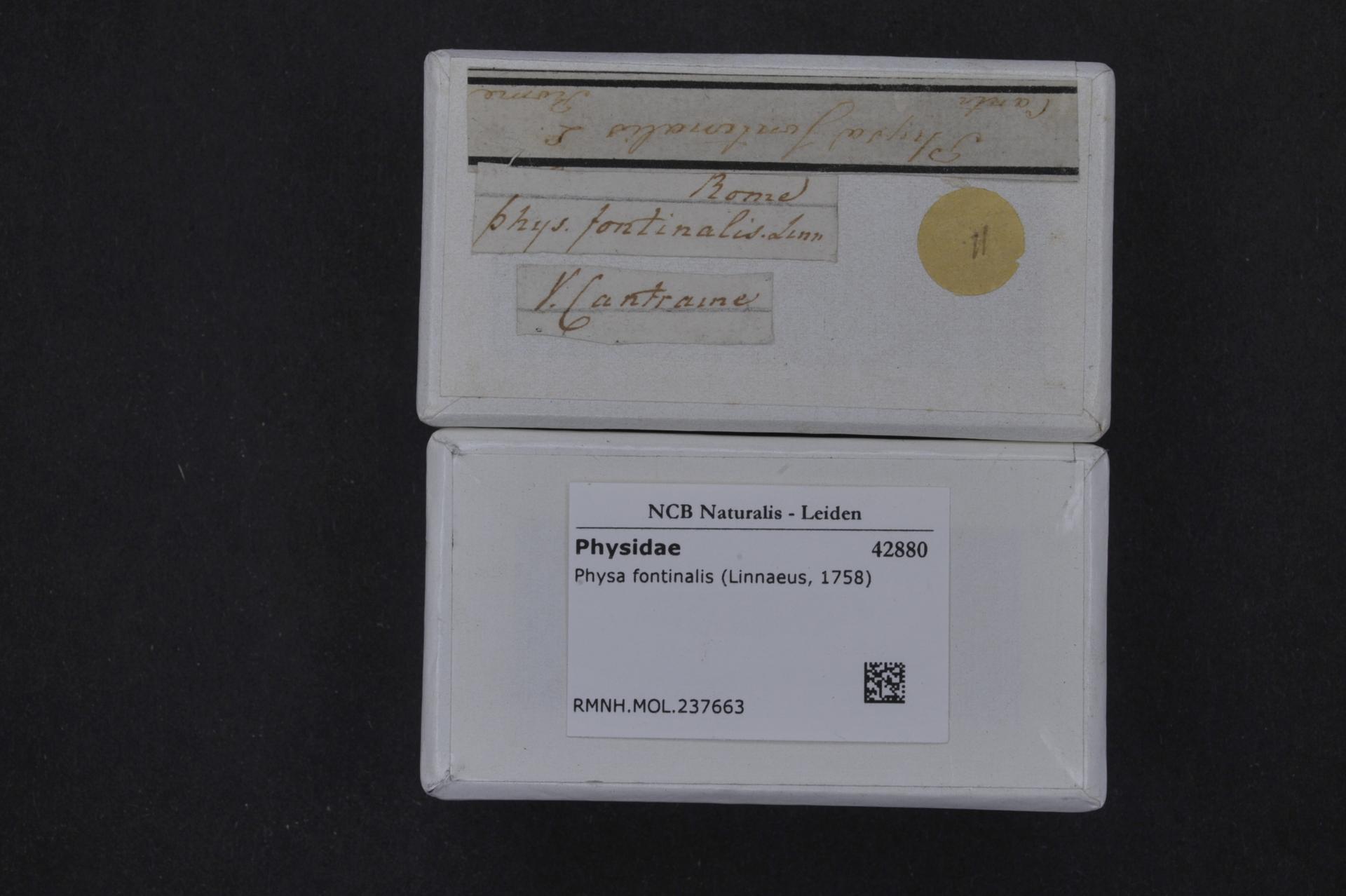 RMNH.MOL.237663 | Physa fontinalis (Linnaeus, 1758)
