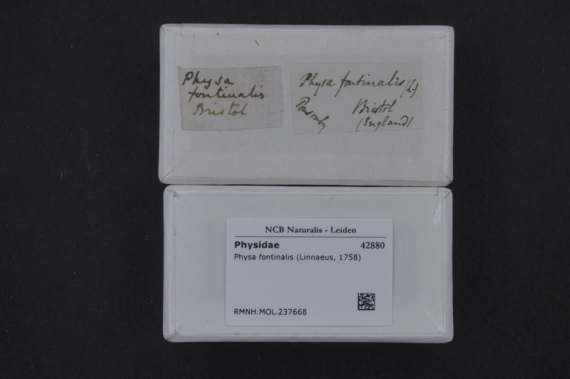 RMNH.MOL.237668   Physa fontinalis Linnaeus, 1758