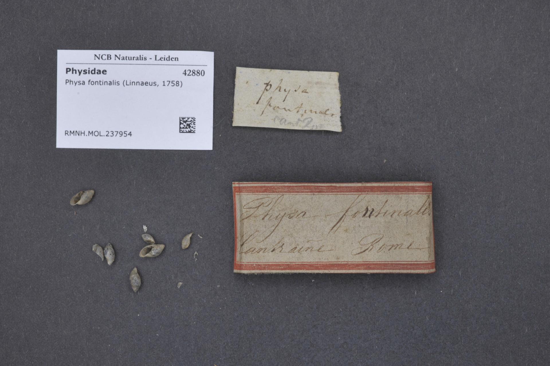 RMNH.MOL.237954   Physa fontinalis Linnaeus, 1758